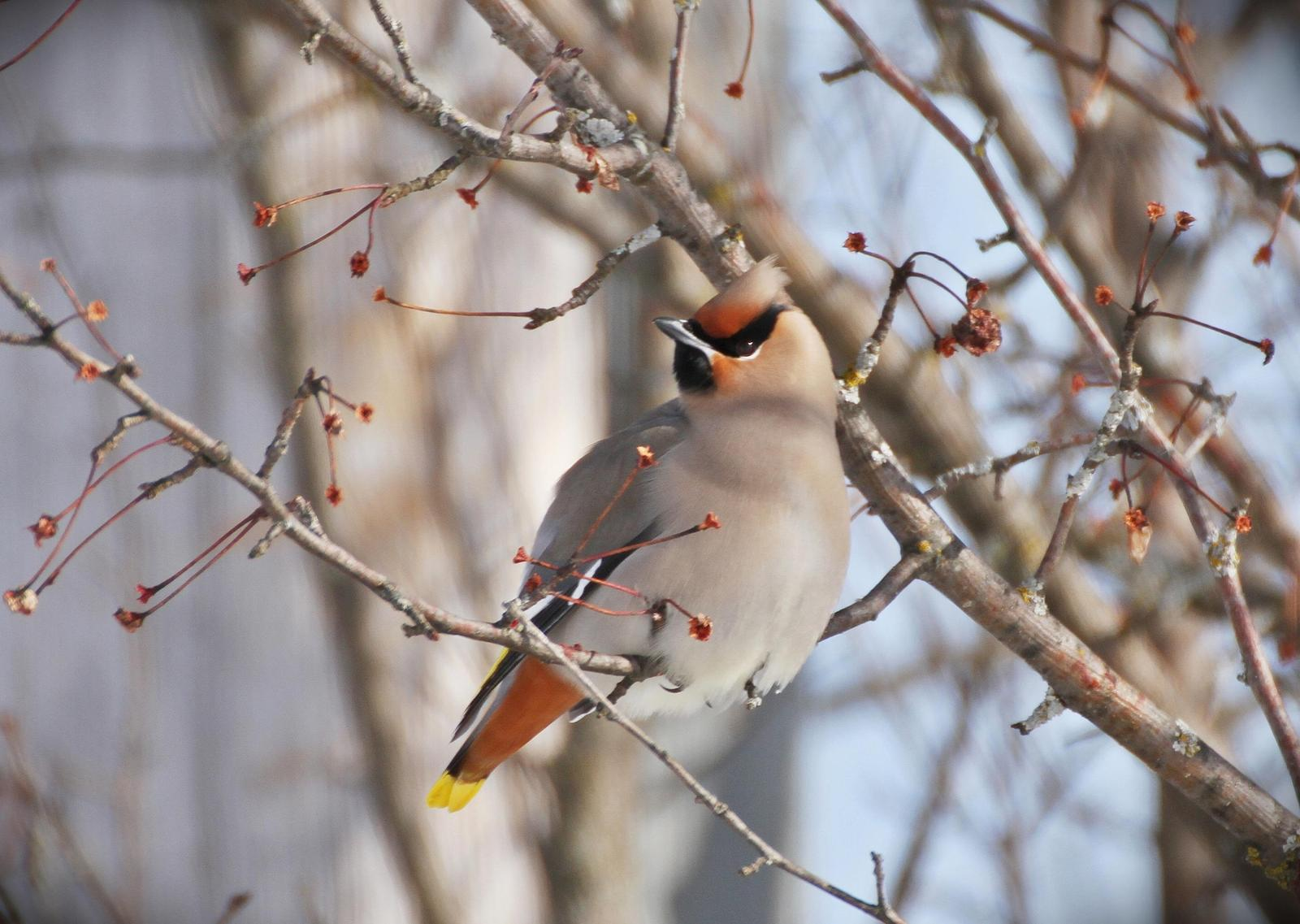 Bohemian Waxwing Photo by Andrew Theus