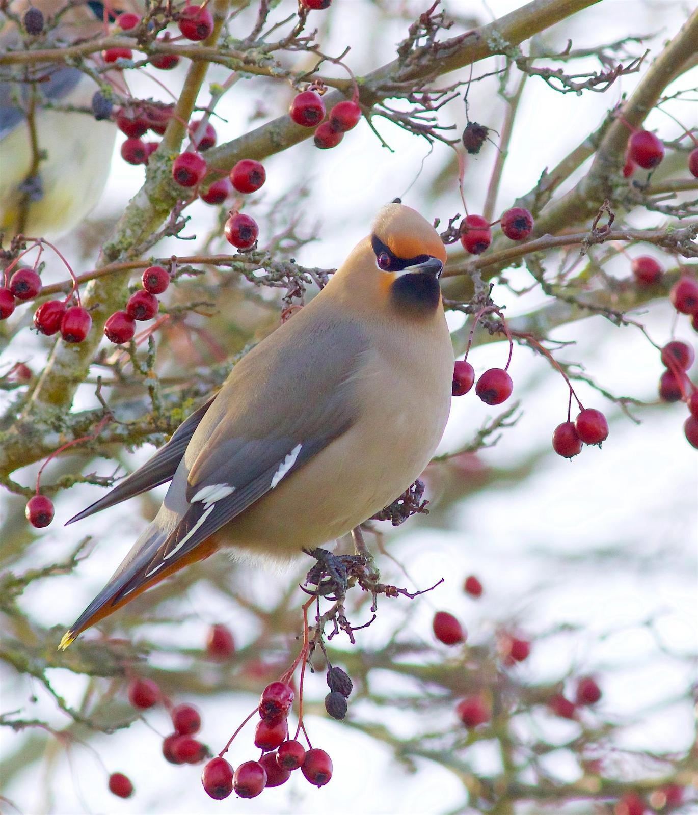 Bohemian Waxwing Photo by Kathryn Keith