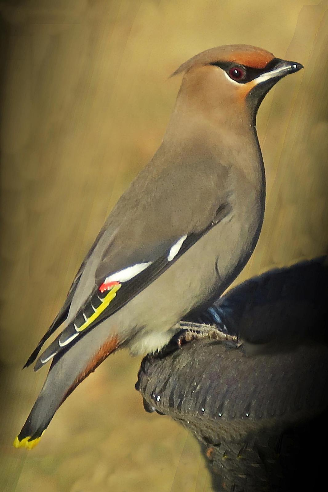 Bohemian Waxwing Photo by Bob Neugebauer