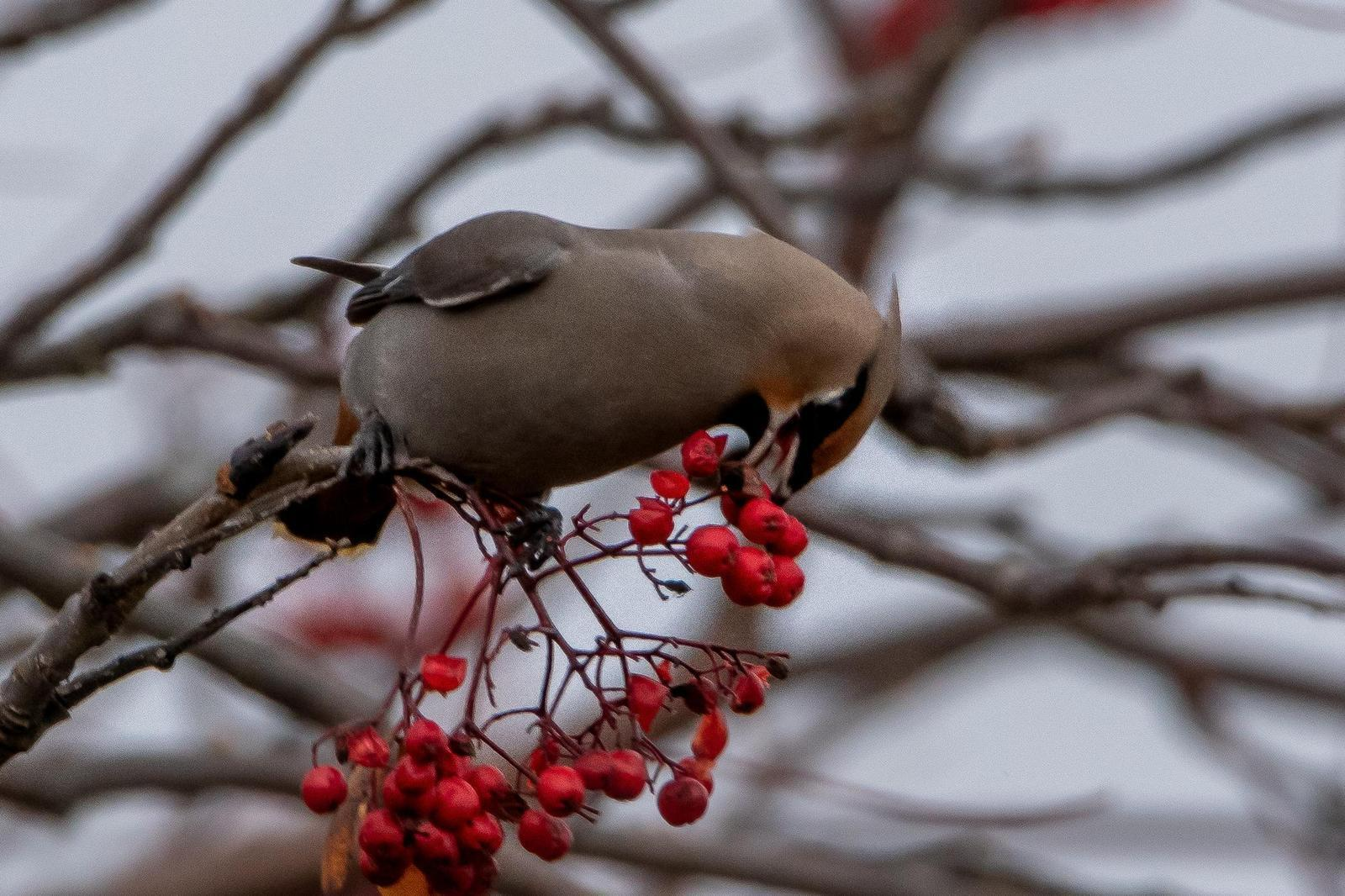 Bohemian Waxwing Photo by Gerald Hoekstra