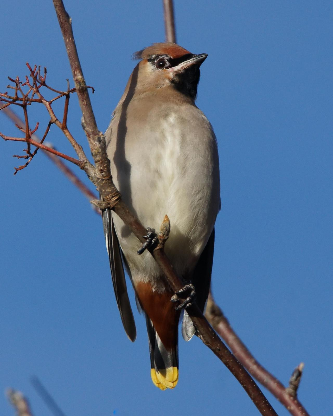 Bohemian Waxwing Photo by Steve Percival
