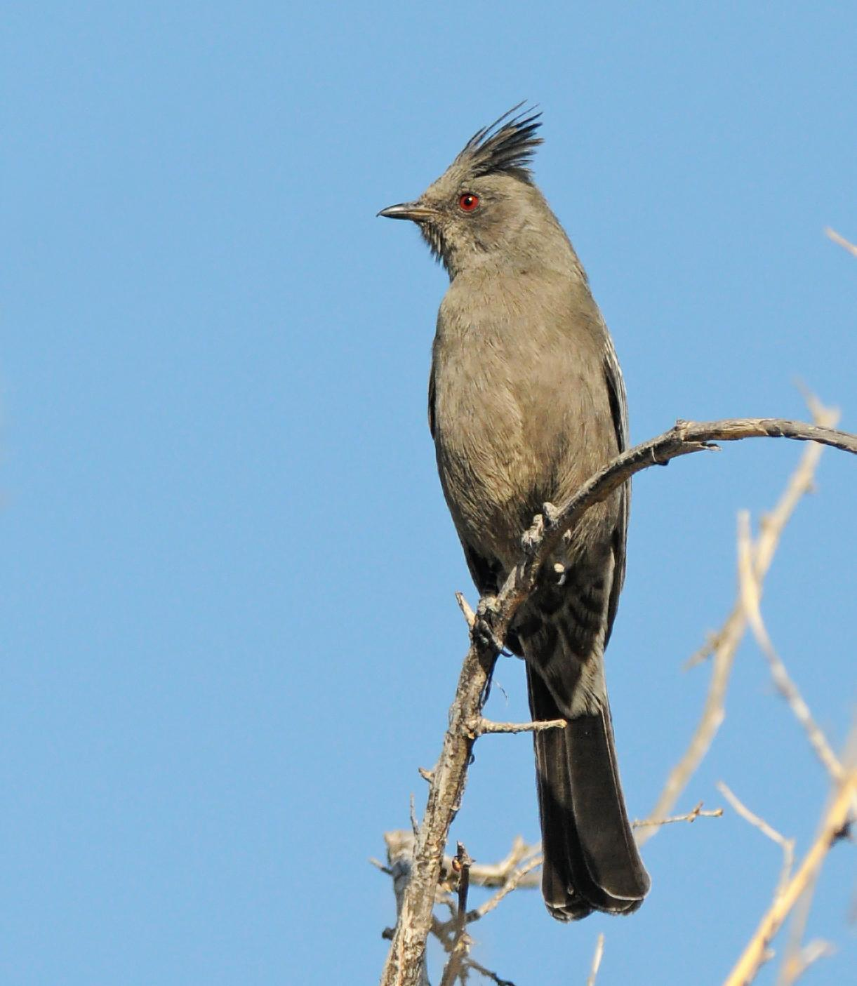 Phainopepla Photo by Steven Mlodinow