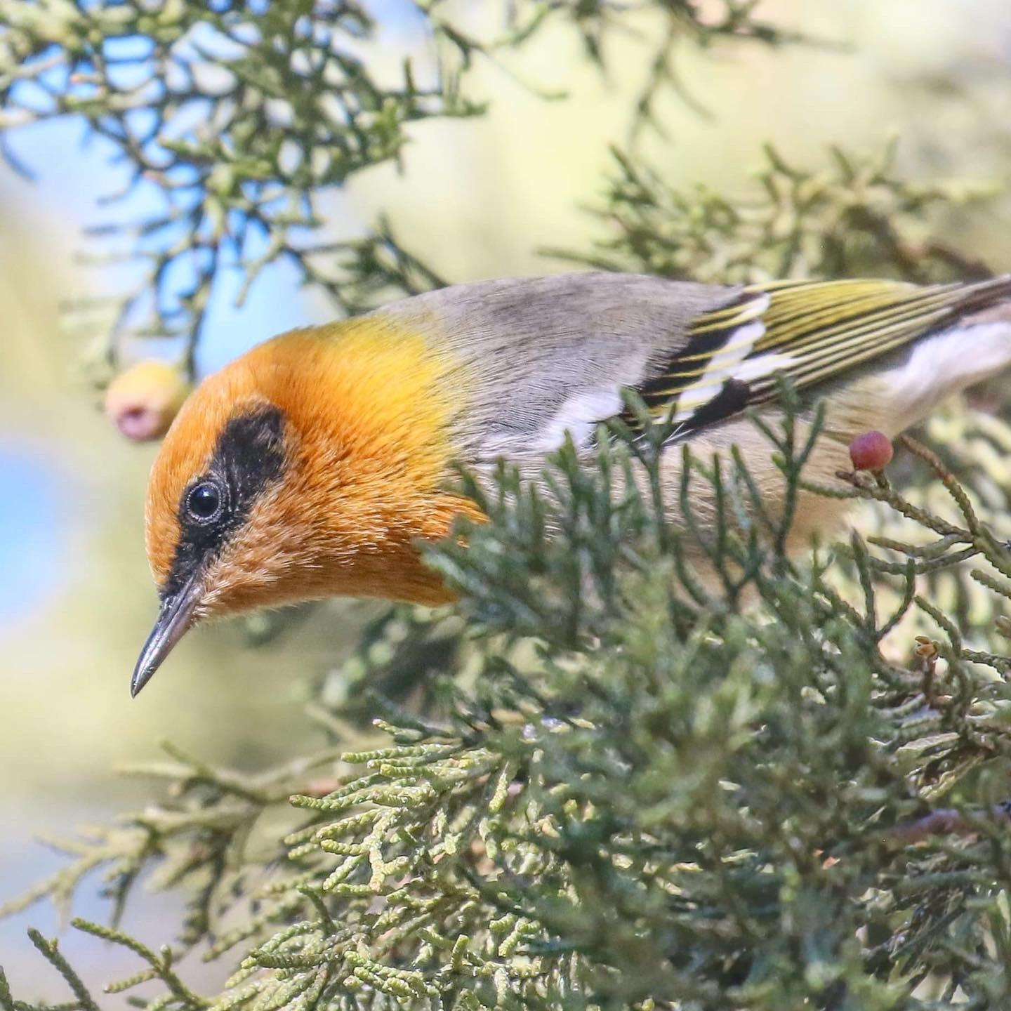 Olive Warbler Photo by Tom Ford-Hutchinson