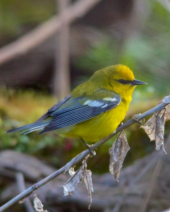 Blue-winged Warbler Photo by Denis Rivard