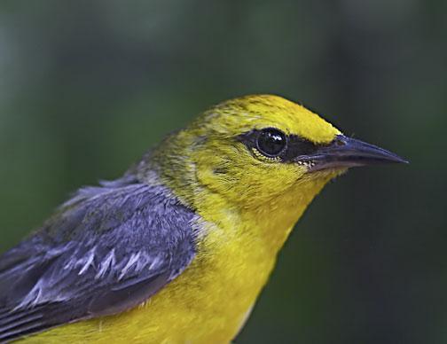 Blue-winged Warbler Photo by Dan Tallman