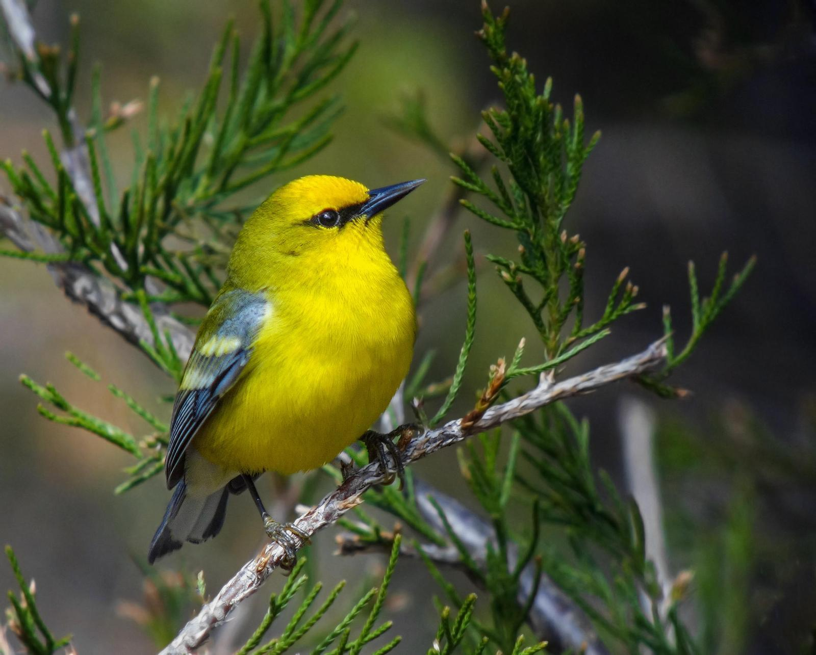 Blue-winged Warbler Photo by Joseph Pescatore