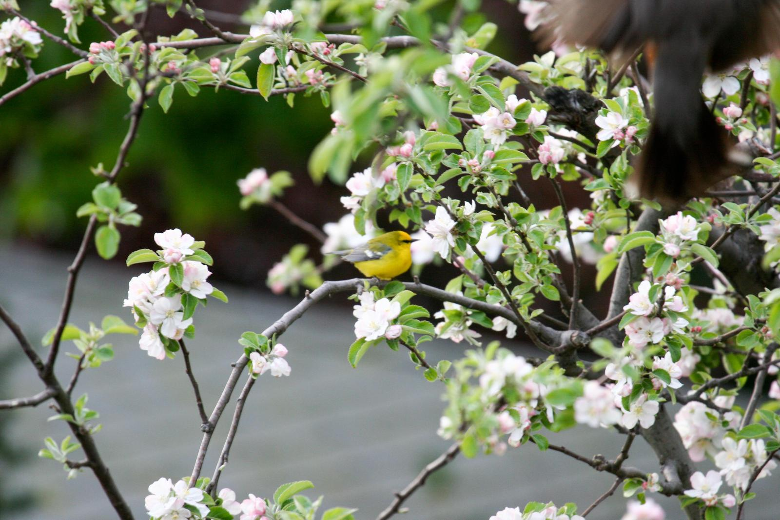 Blue-winged Warbler Photo by Roseanne CALECA