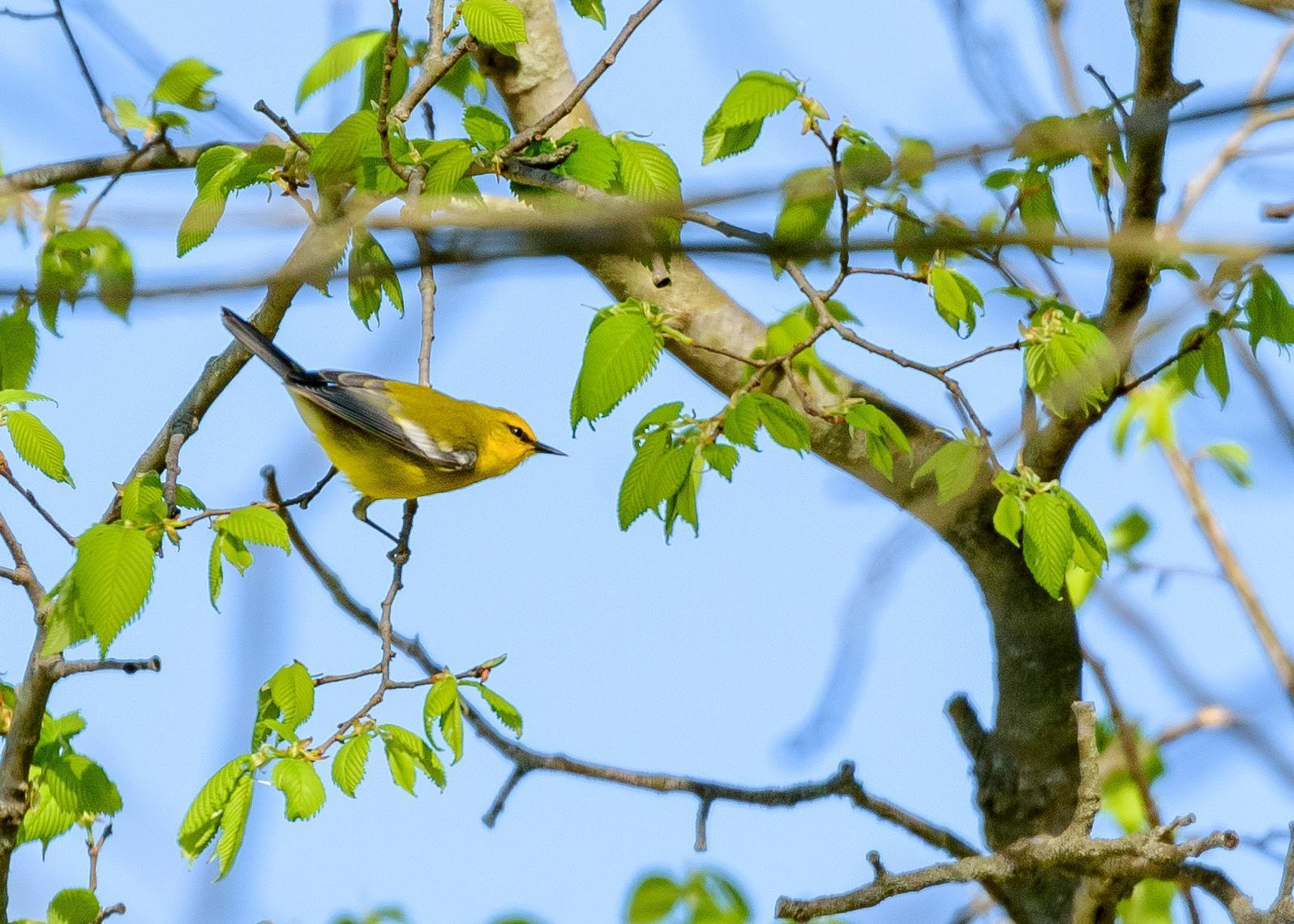 Blue-winged Warbler Photo by Keshava Mysore
