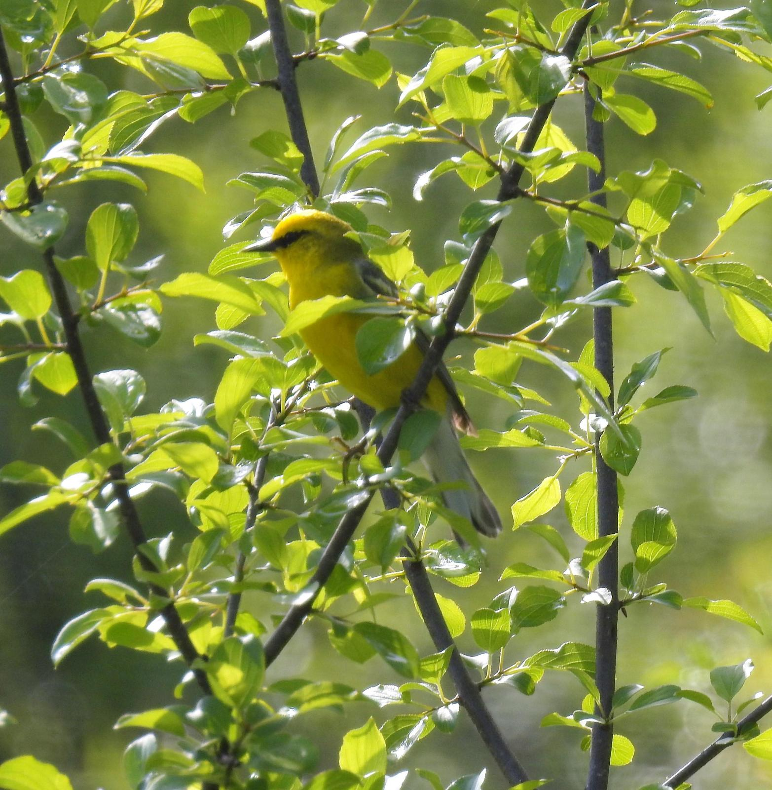 Blue-winged Warbler Photo by John Licharson
