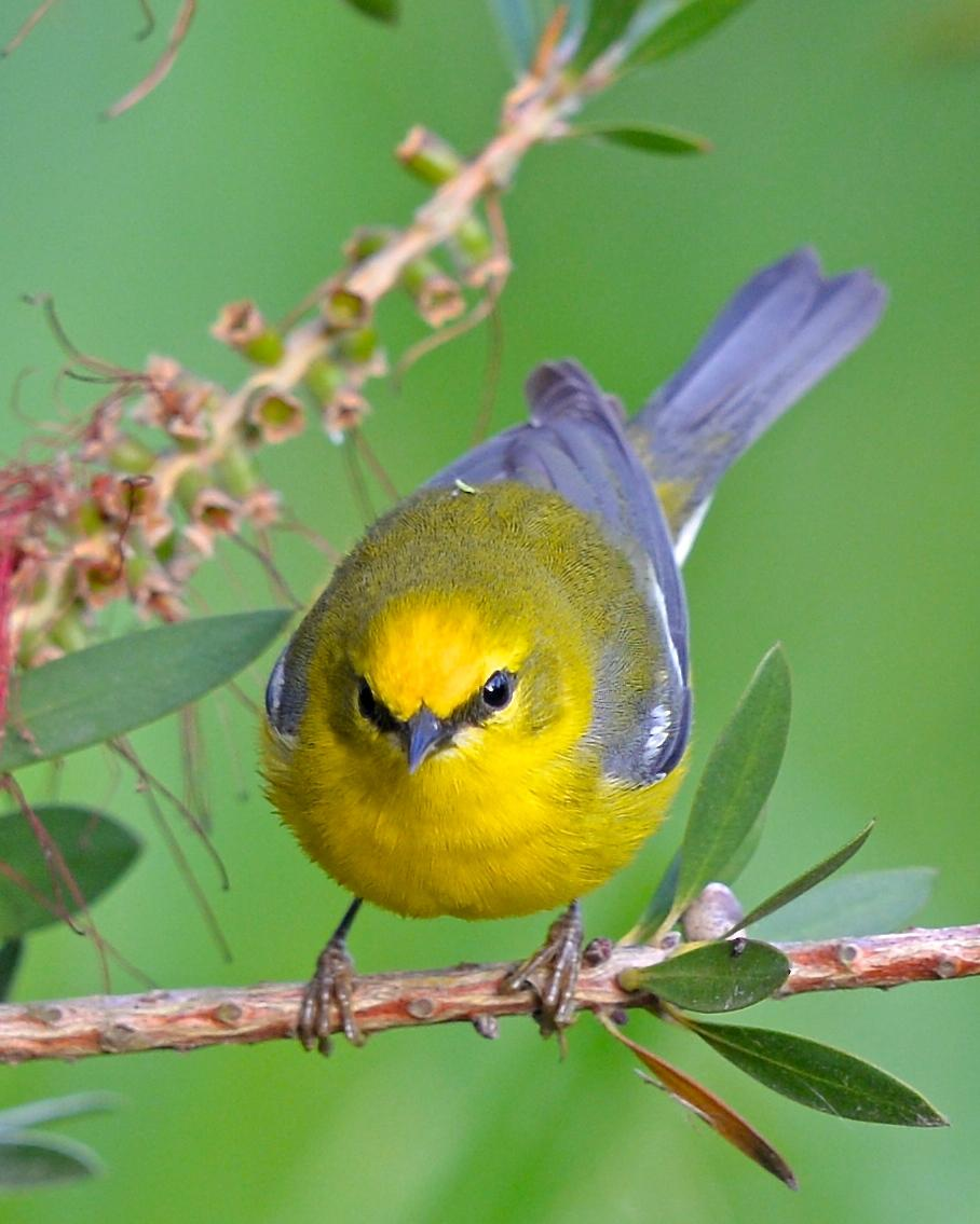 Blue-winged Warbler Photo by Gerald Friesen