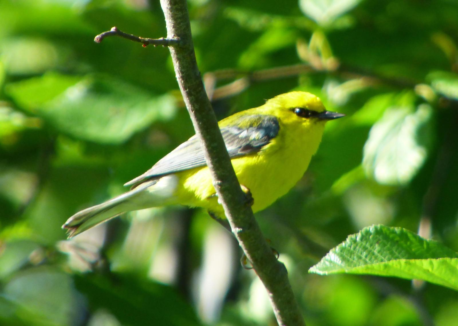 Blue-winged Warbler Photo by Phil Ryan