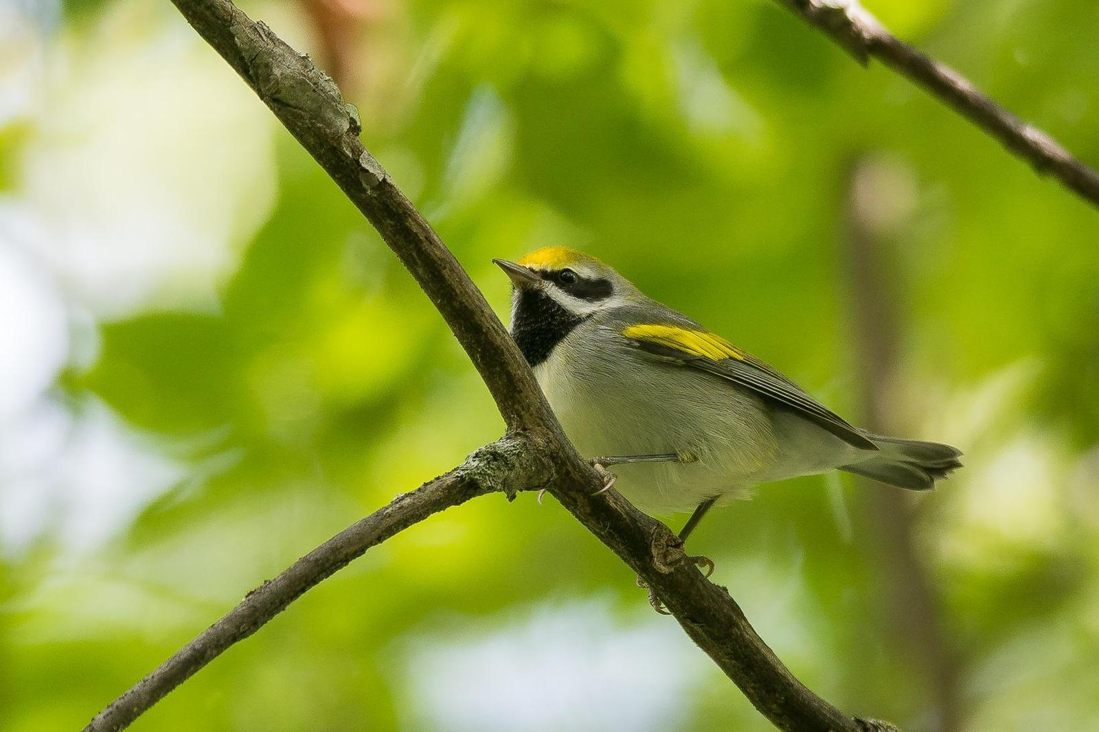 Golden-winged Warbler Photo by Gerald Hoekstra
