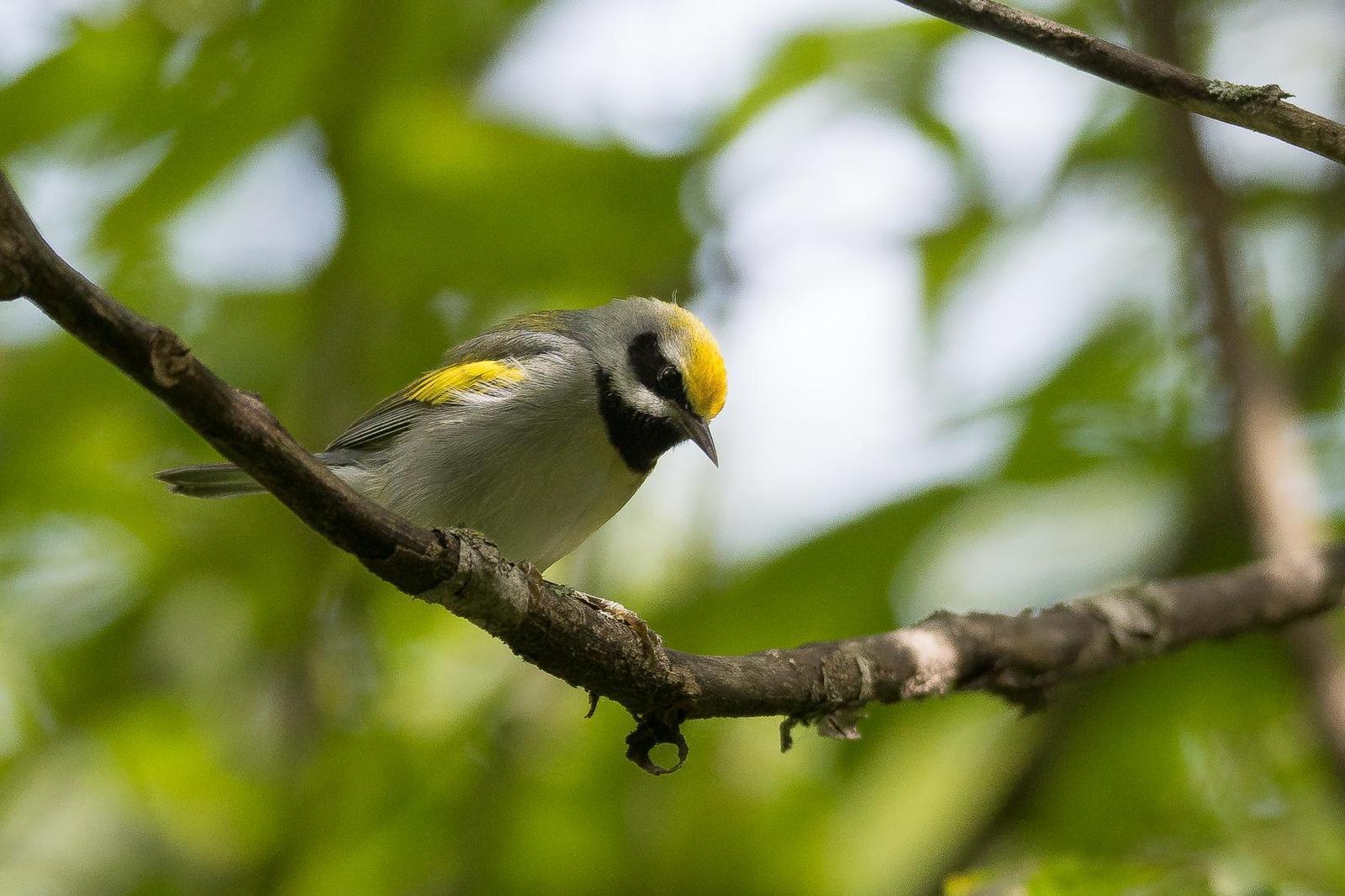 Golden-winged Warbler Photo by Gerald Hoekstra