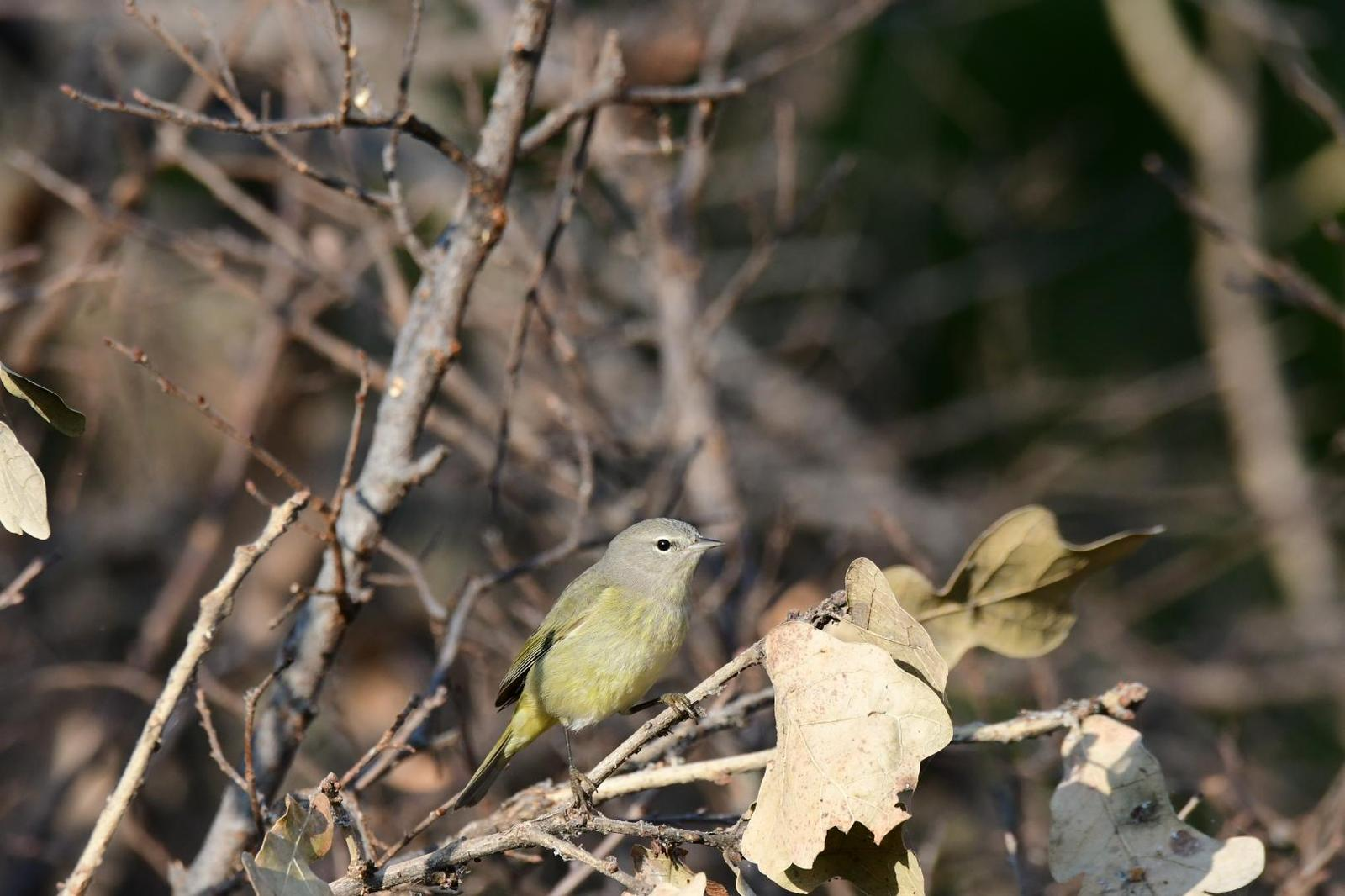 Orange-crowned Warbler Photo by Jacob Zadik