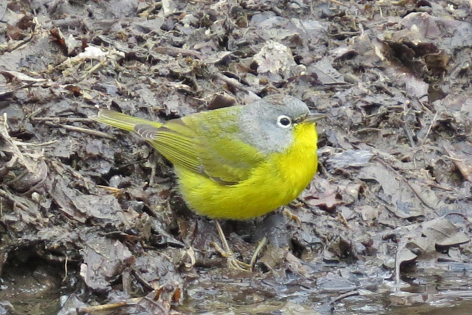 Nashville Warbler Photo by Enid Bachman