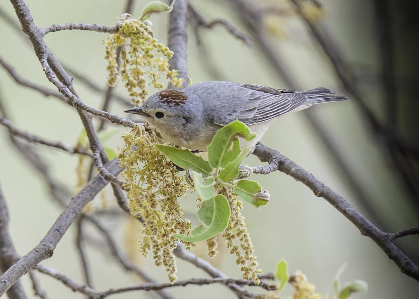 Lucy's Warbler Photo by Mason Rose