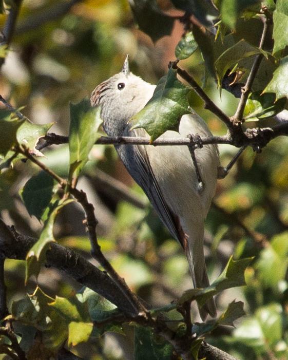 Lucy's Warbler Photo by Anita Strawn de Ojeda