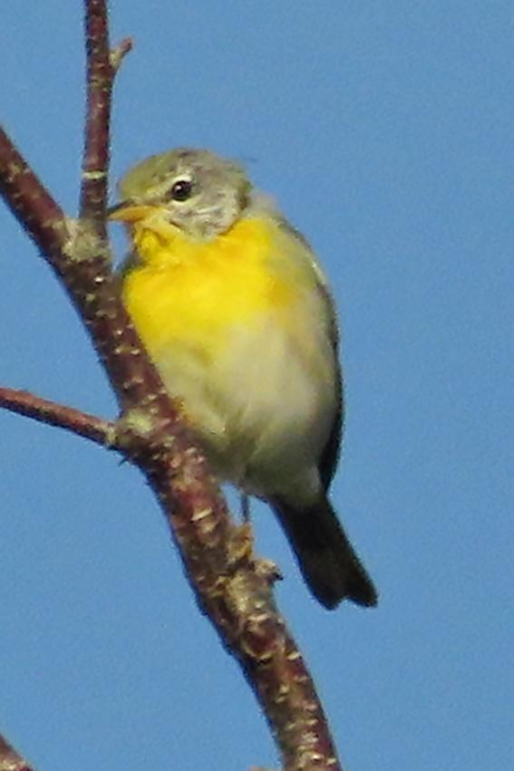 Northern Parula Photo by Bob Neugebauer