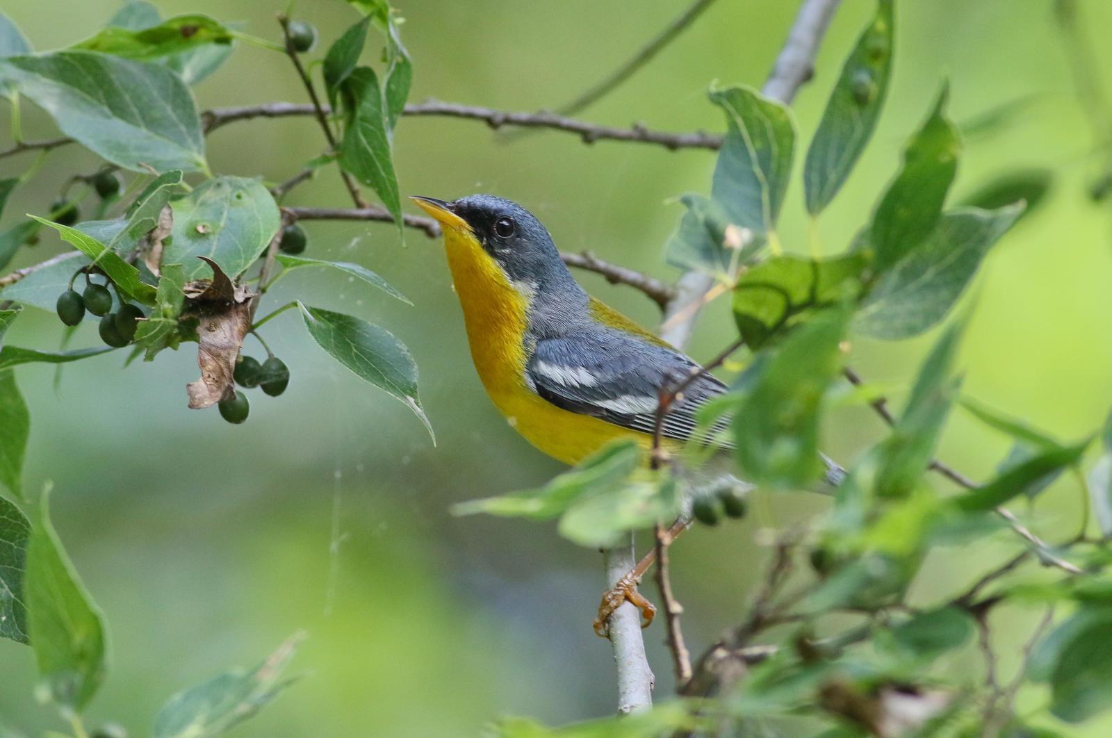 Tropical Parula Photo by Tom Ford-Hutchinson