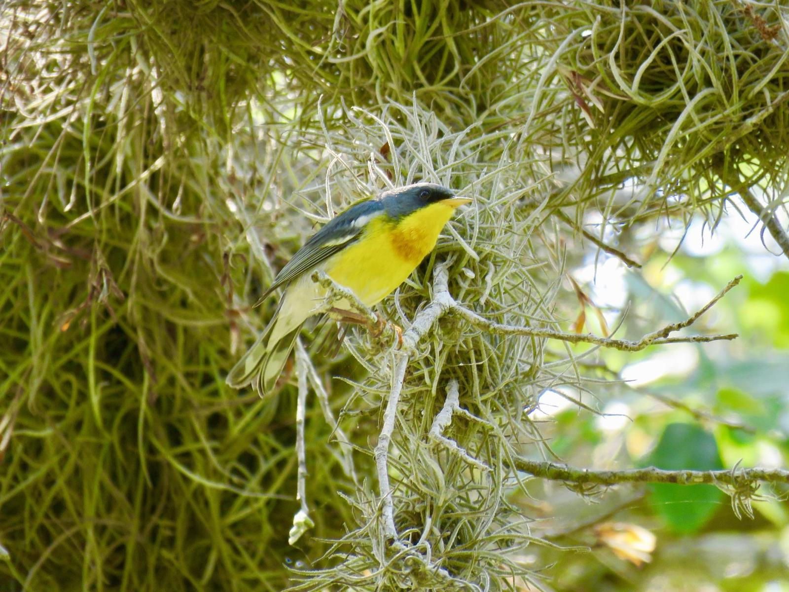 Tropical Parula Photo by Lisa Owens