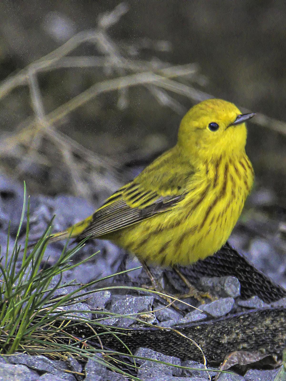 Yellow Warbler Photo by Dan Tallman