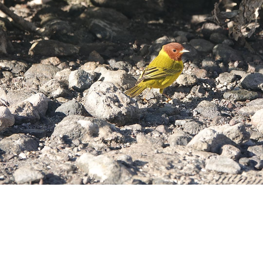 Yellow Warbler (Mangrove) Photo by Bonnie Clarfield-Bylin