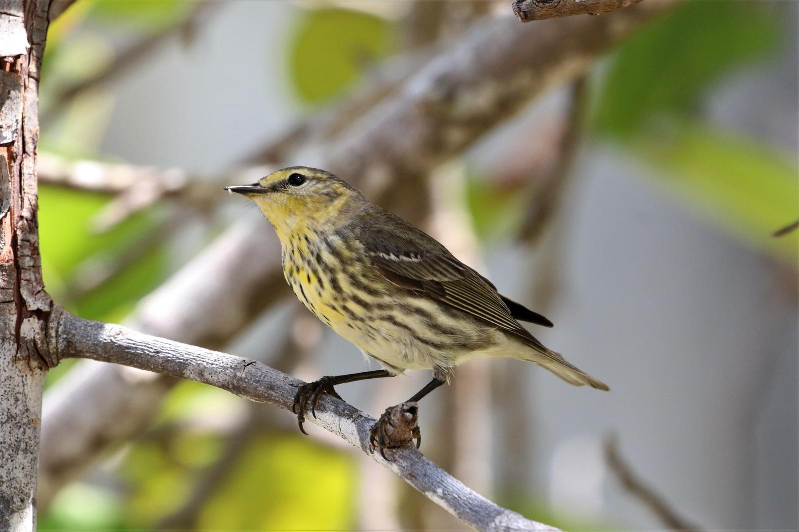 Cape May Warbler Photo by Richard Jeffers