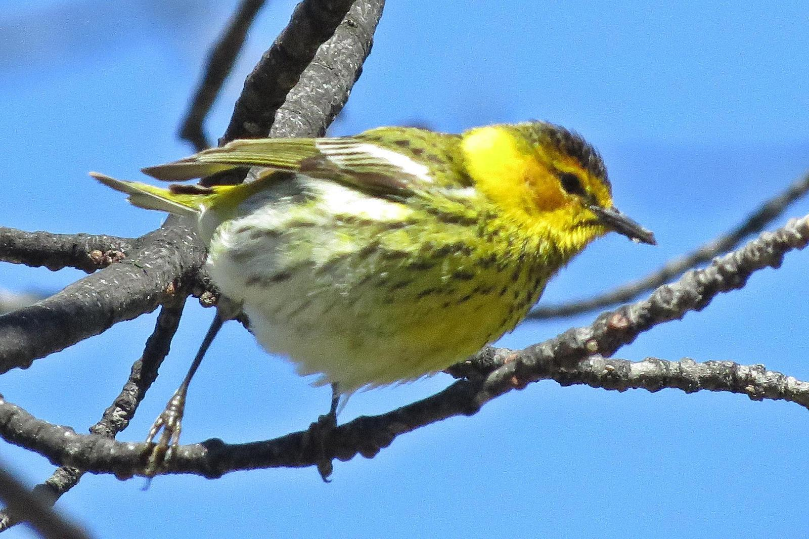 Cape May Warbler Photo by Enid Bachman