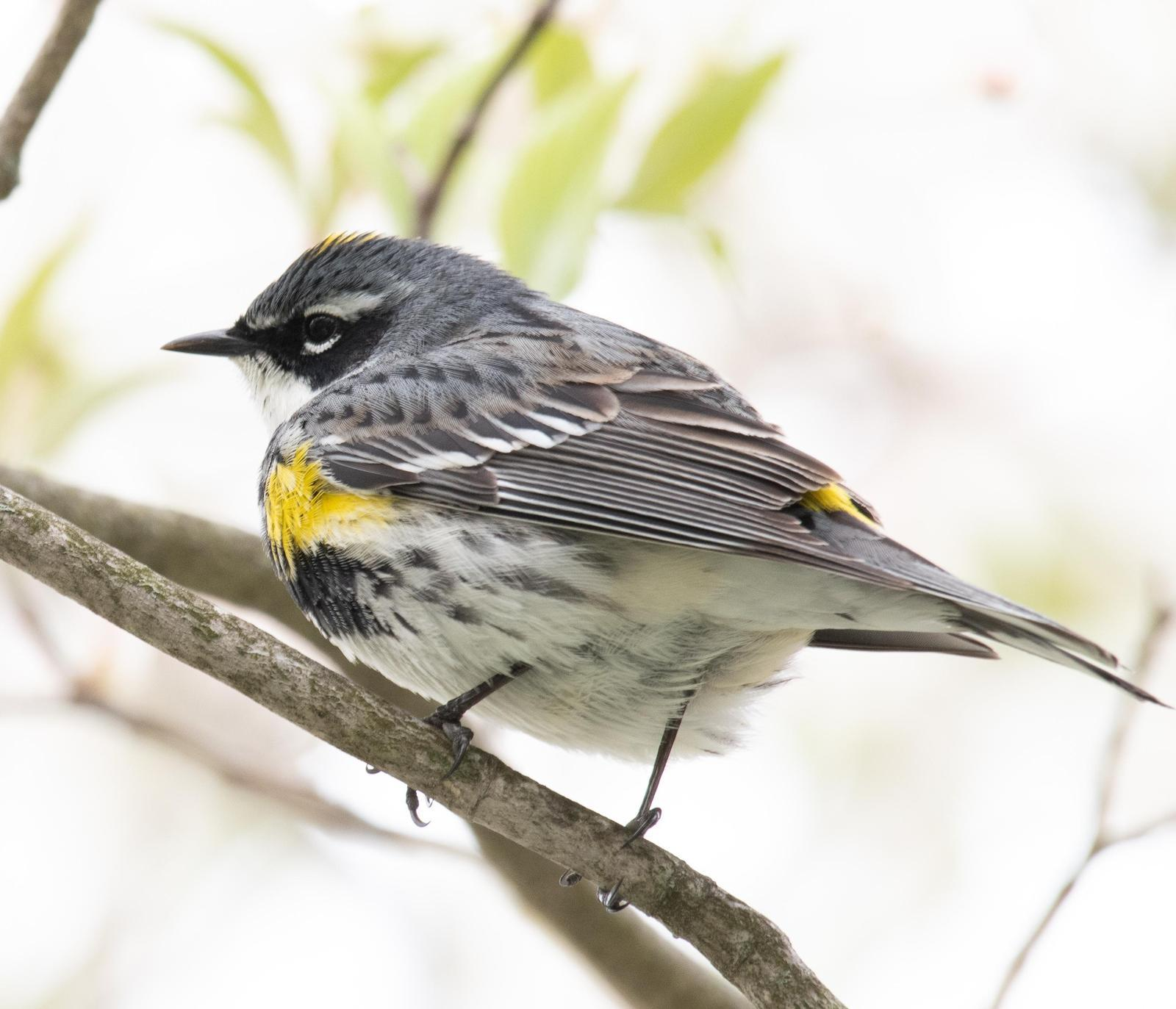 Yellow-rumped Warbler Photo by Hume Vance