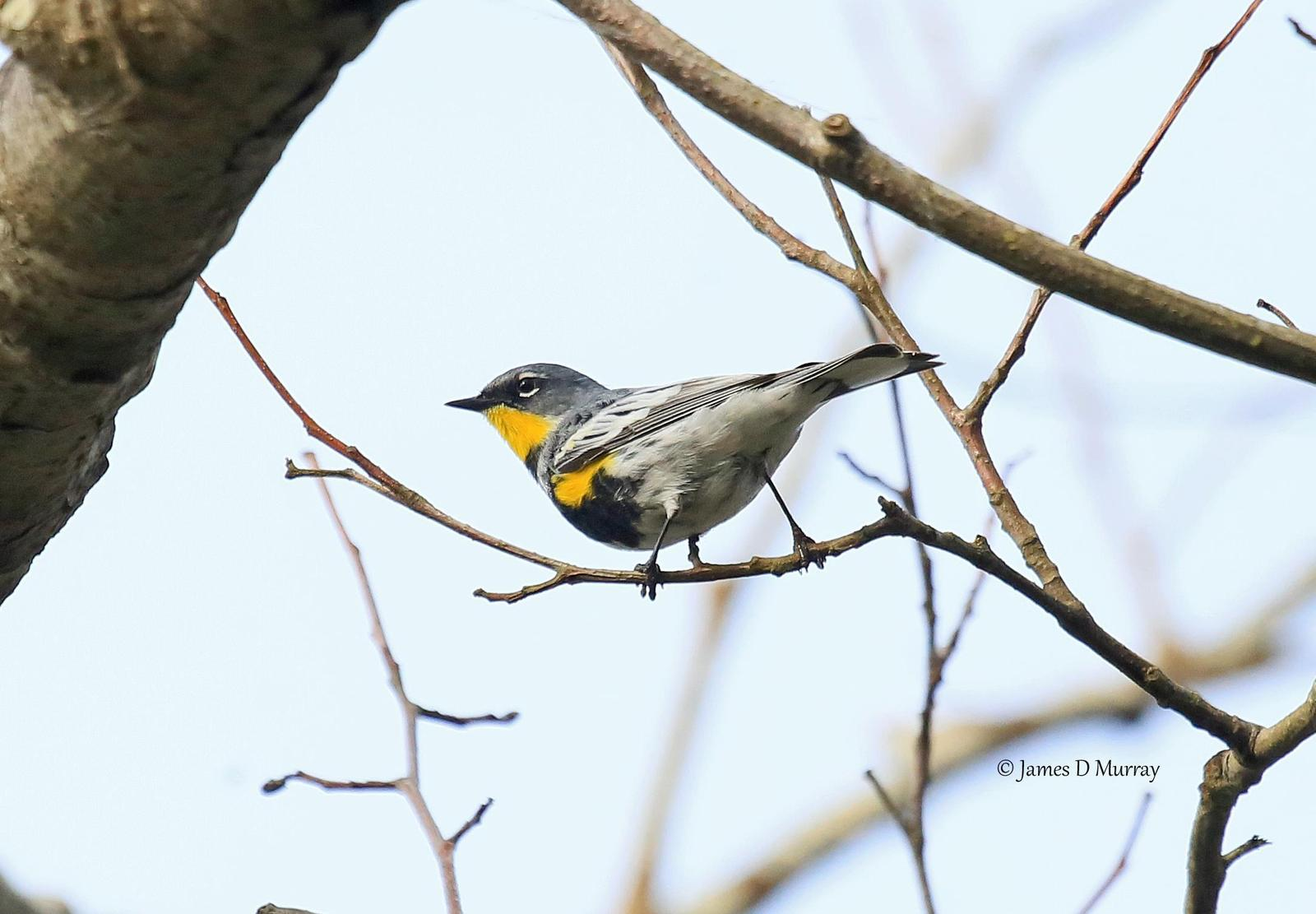 Yellow-rumped Warbler (Myrtle) Photo by Jim  Murray