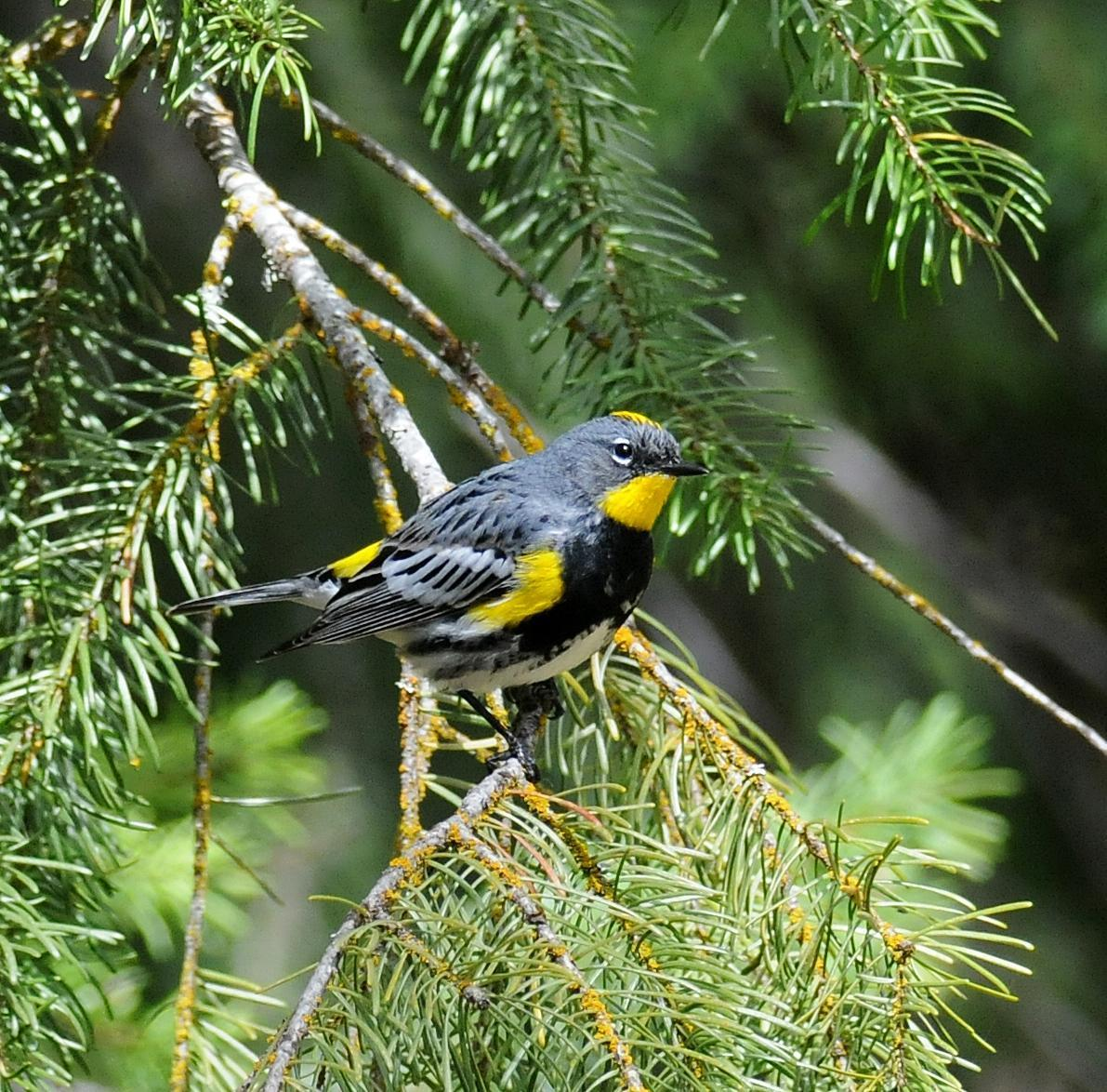 Yellow-rumped Warbler (Audubon's) Photo by Steven Mlodinow