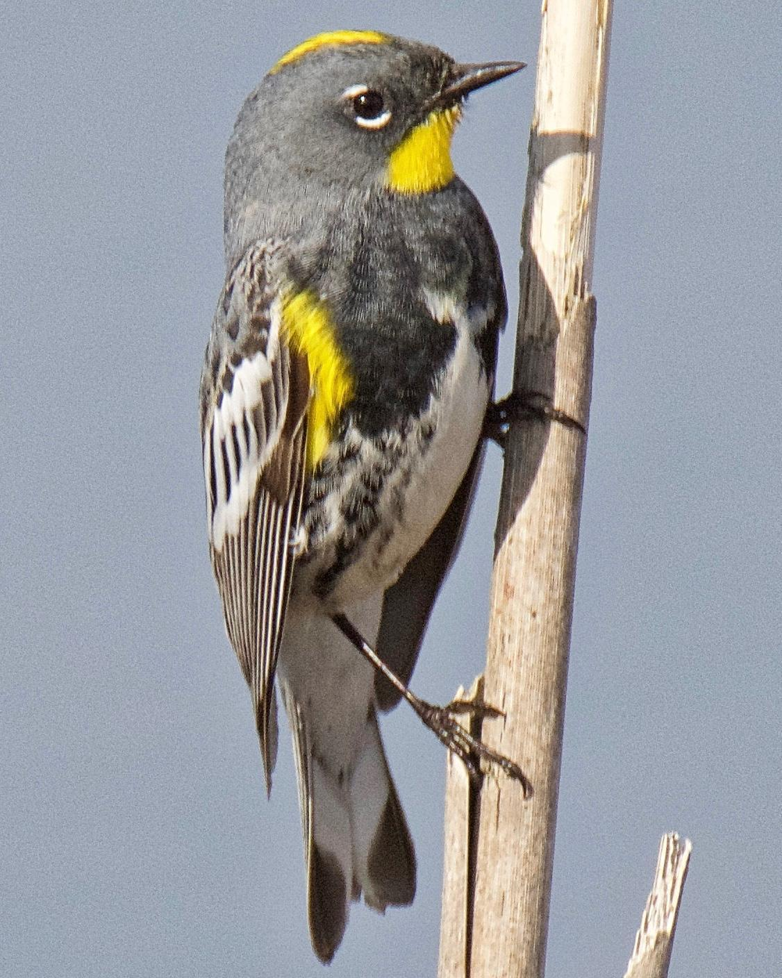 Yellow-rumped Warbler (Audubon's) Photo by Brian Avent
