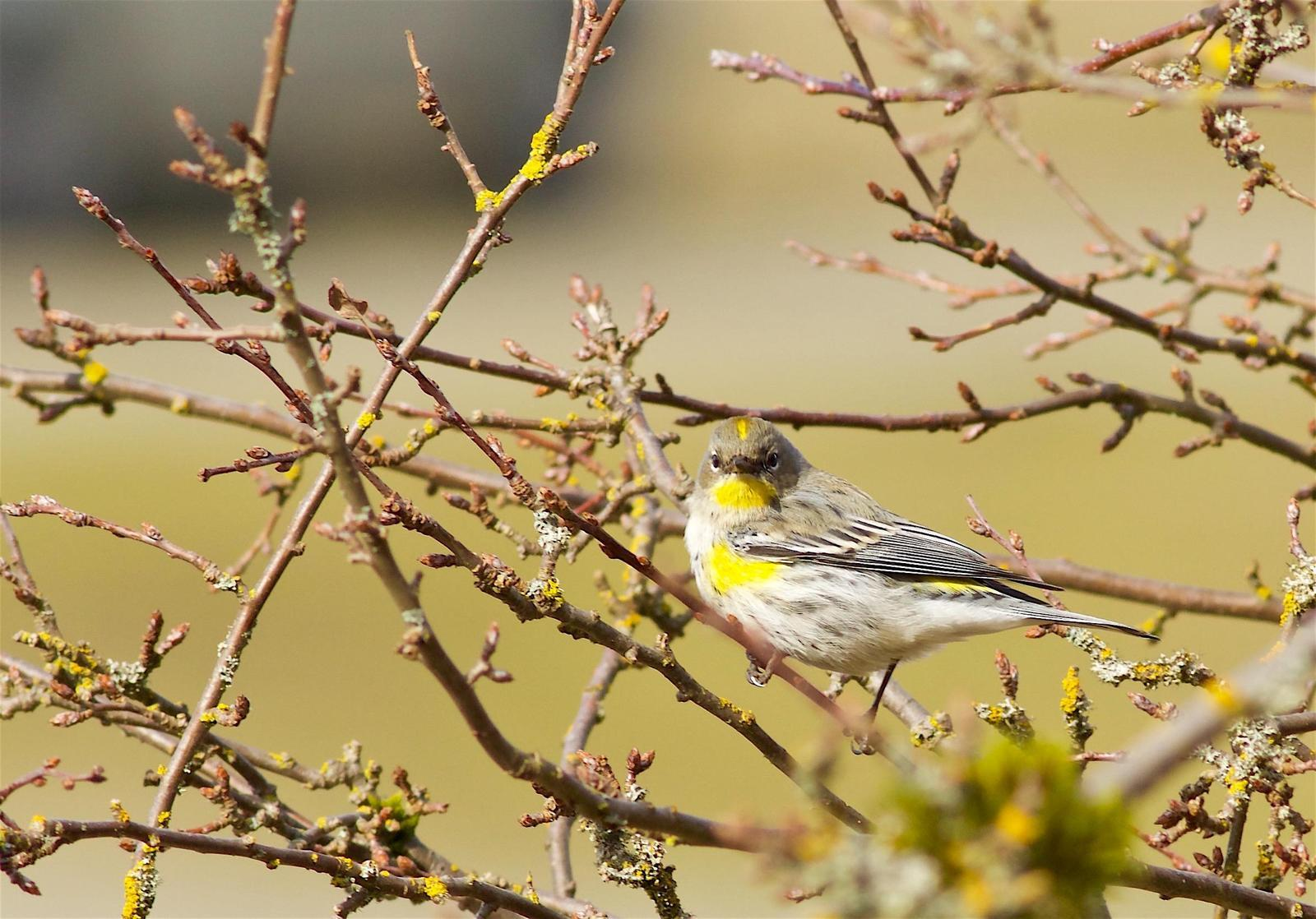 Yellow-rumped Warbler (Audubon's) Photo by Kathryn Keith