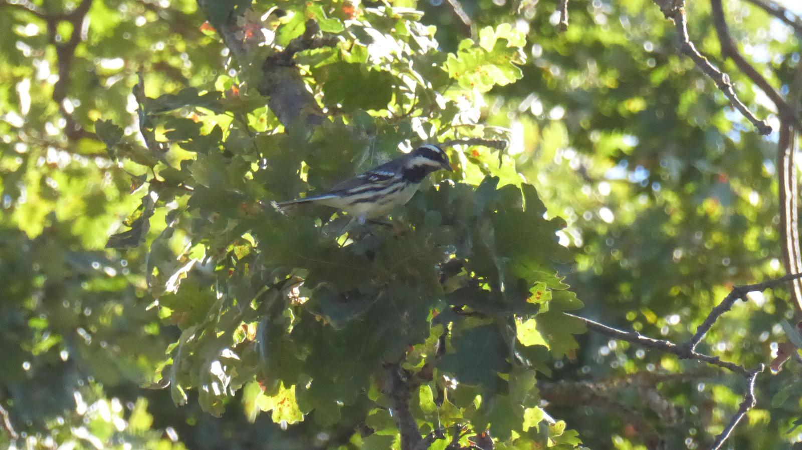Black-throated Gray Warbler Photo by Daliel Leite
