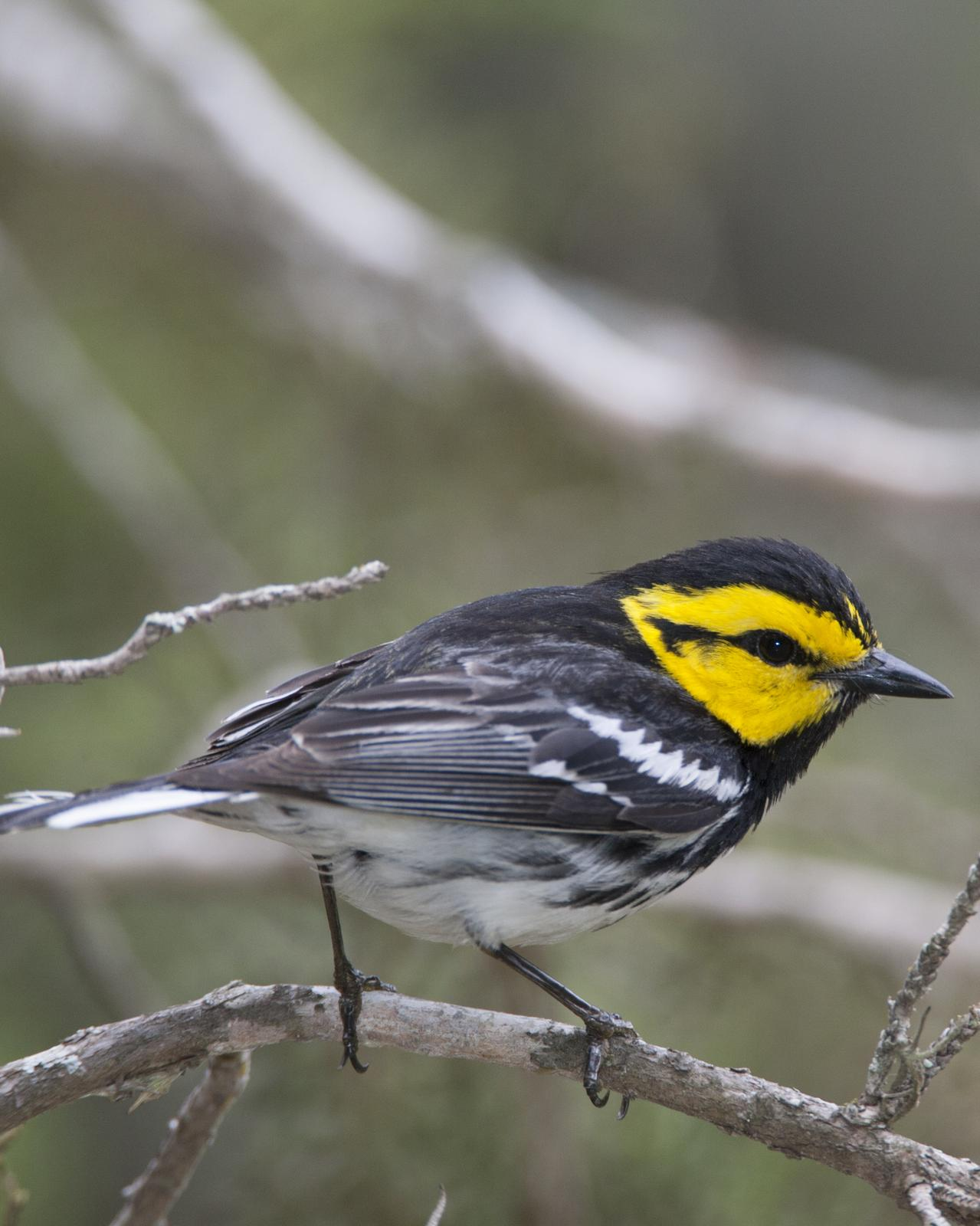 Golden-cheeked Warbler Photo by Jeff Moore