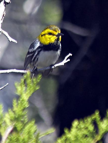 Golden-cheeked Warbler Photo by Dan Tallman