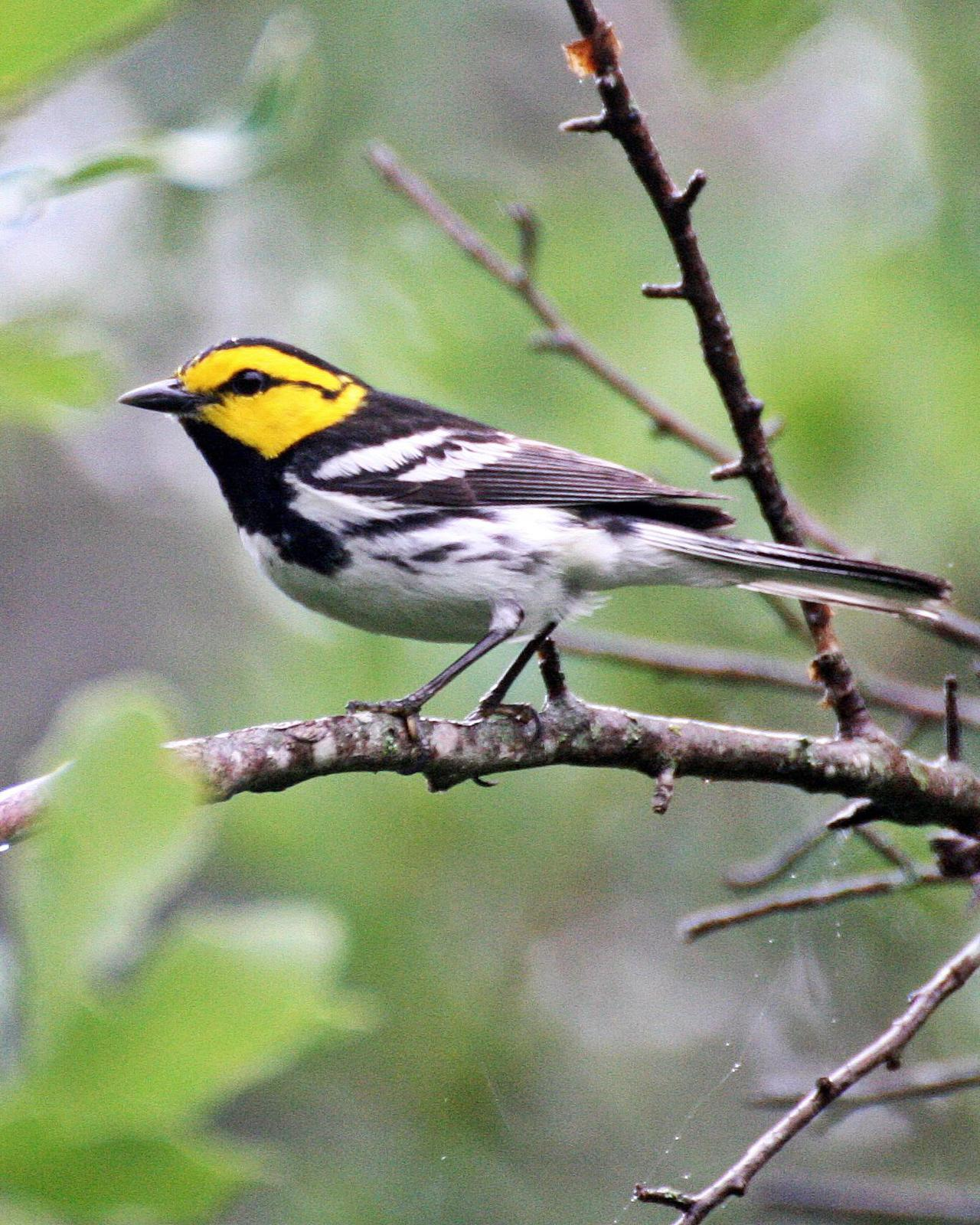Golden-cheeked Warbler Photo by Andrew Theus