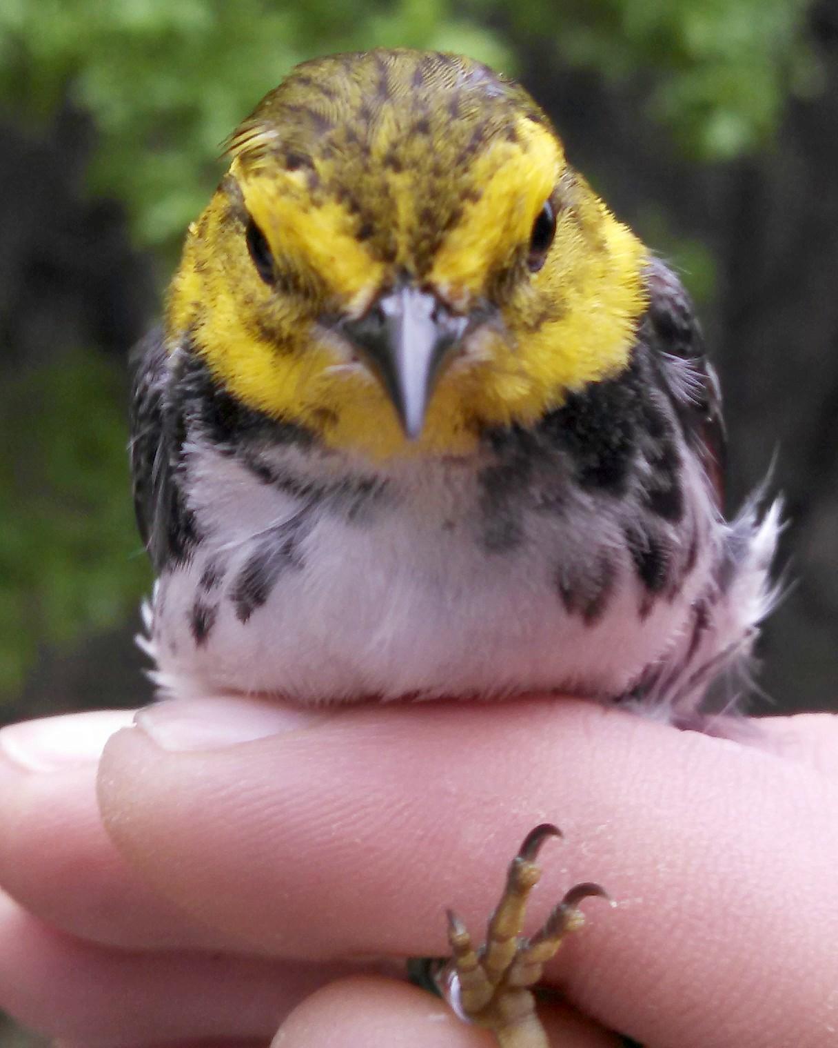 Golden-cheeked Warbler Photo by David Hollie