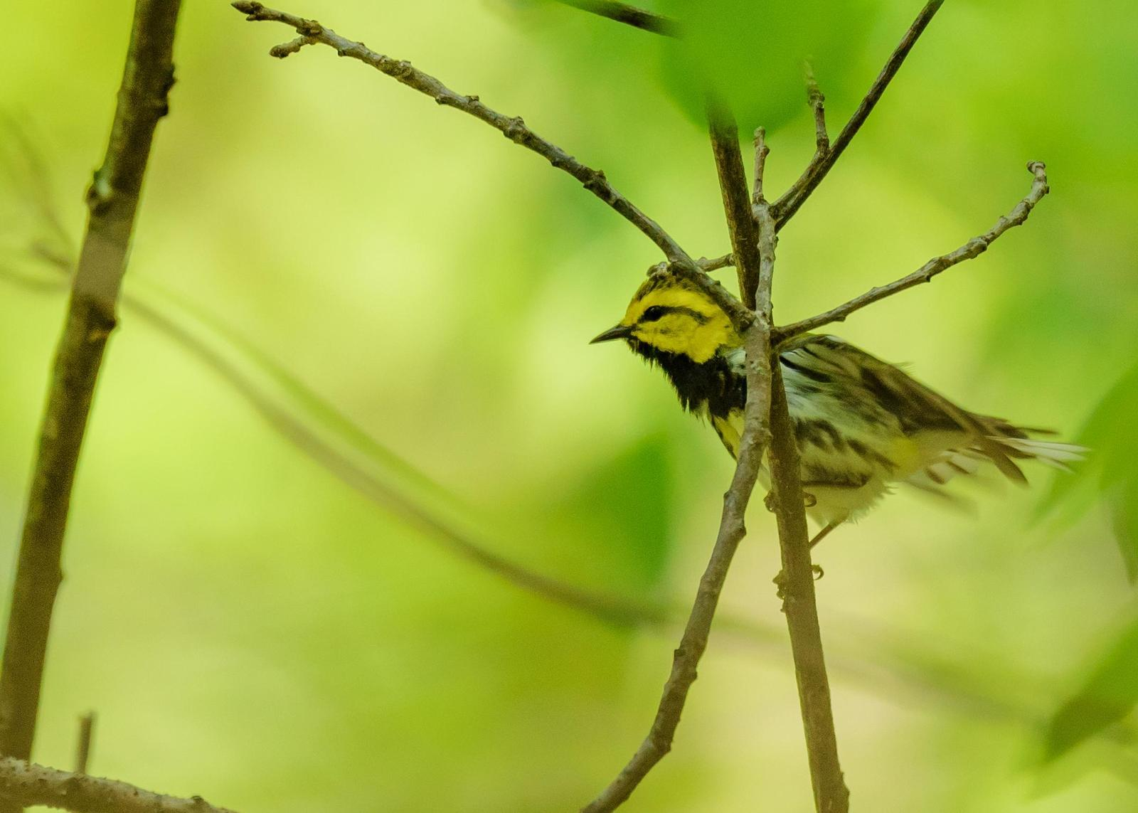 Black-throated Green Warbler Photo by Keshava Mysore
