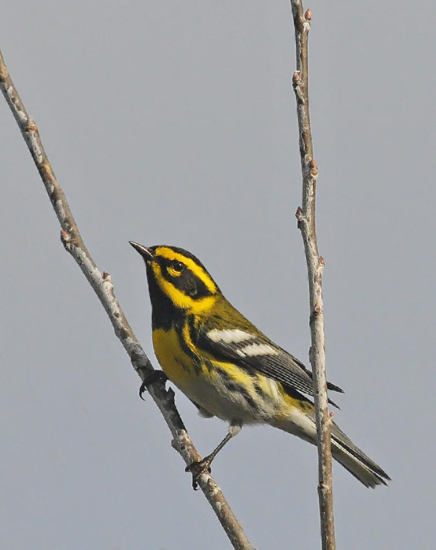 Townsend's Warbler Photo by Steven Mlodinow