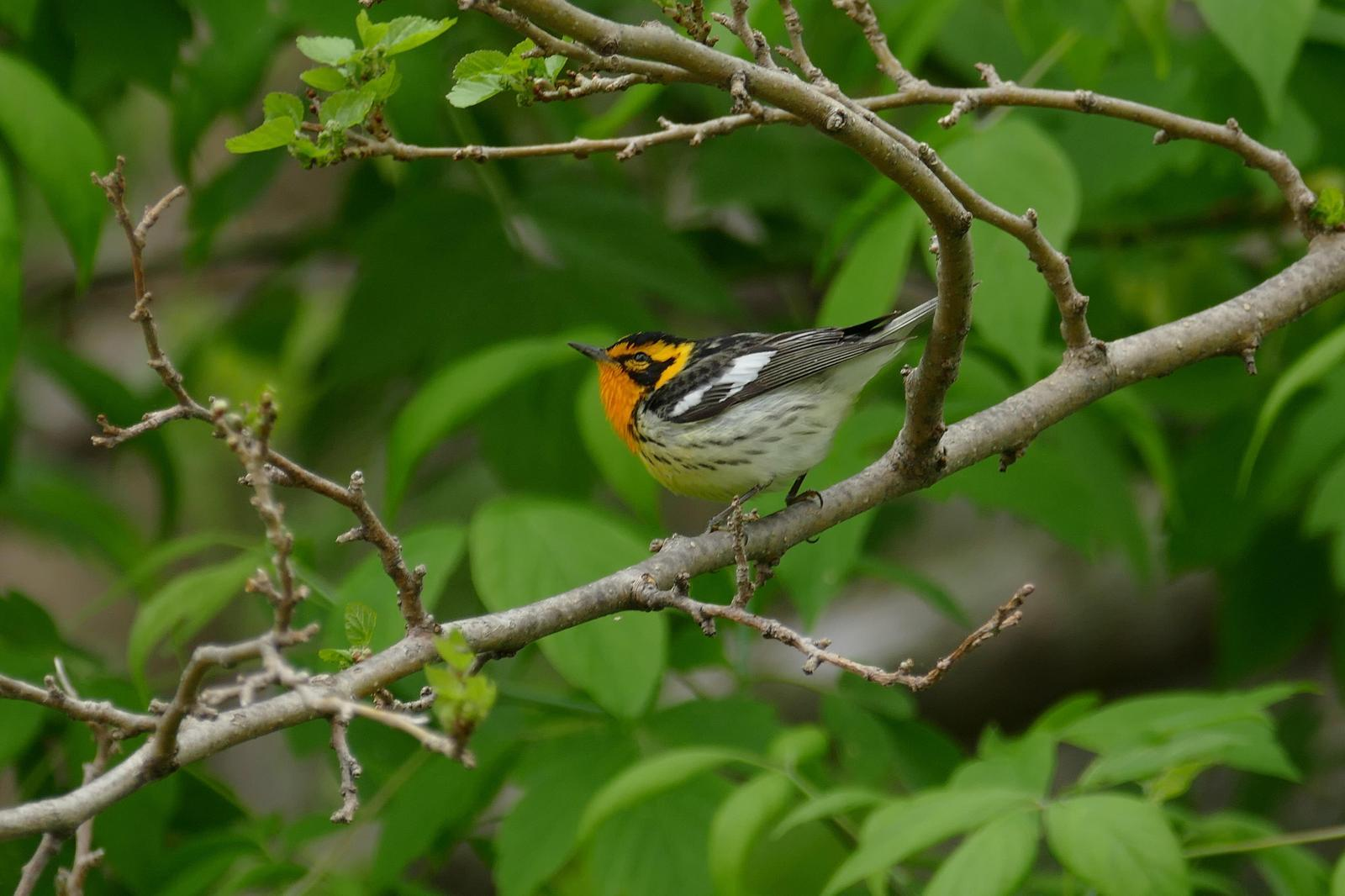Blackburnian Warbler Photo by Drew Weber