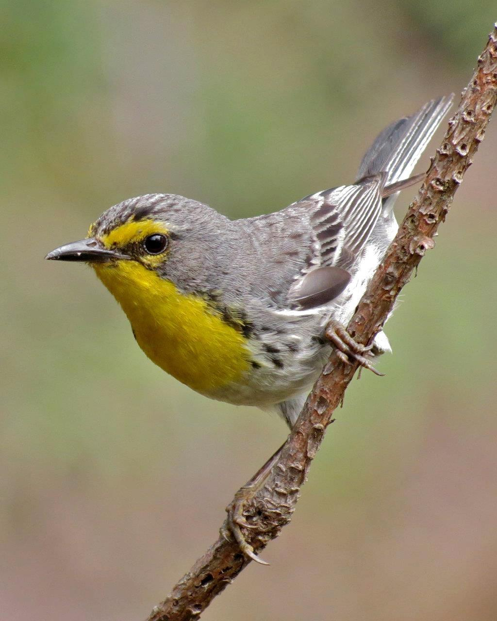 Grace's Warbler Photo by John van Dort