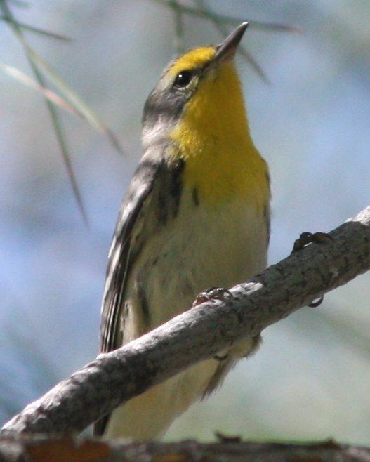 Grace's Warbler Photo by Andrew Core