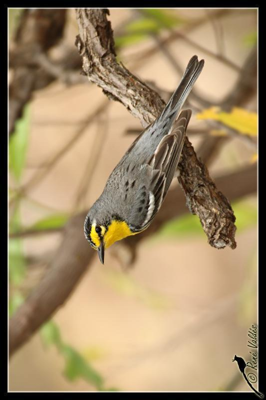 Grace's Warbler Photo by Rene Valdes