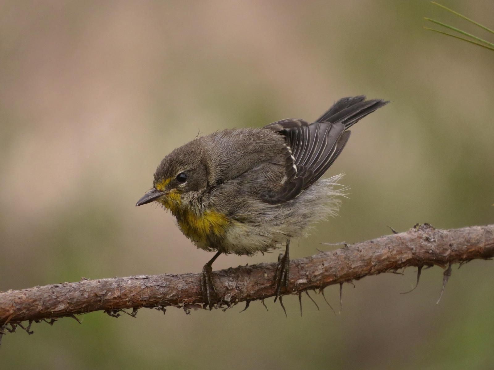 Grace's Warbler Photo by John van Dort
