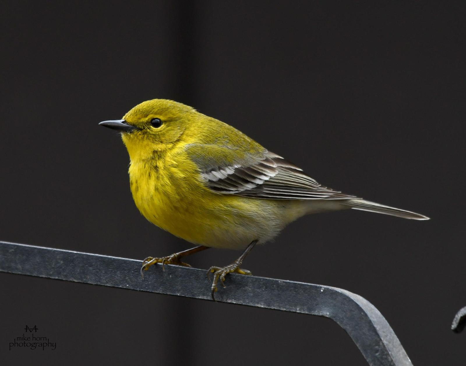 Pine Warbler Photo by Michael Horn