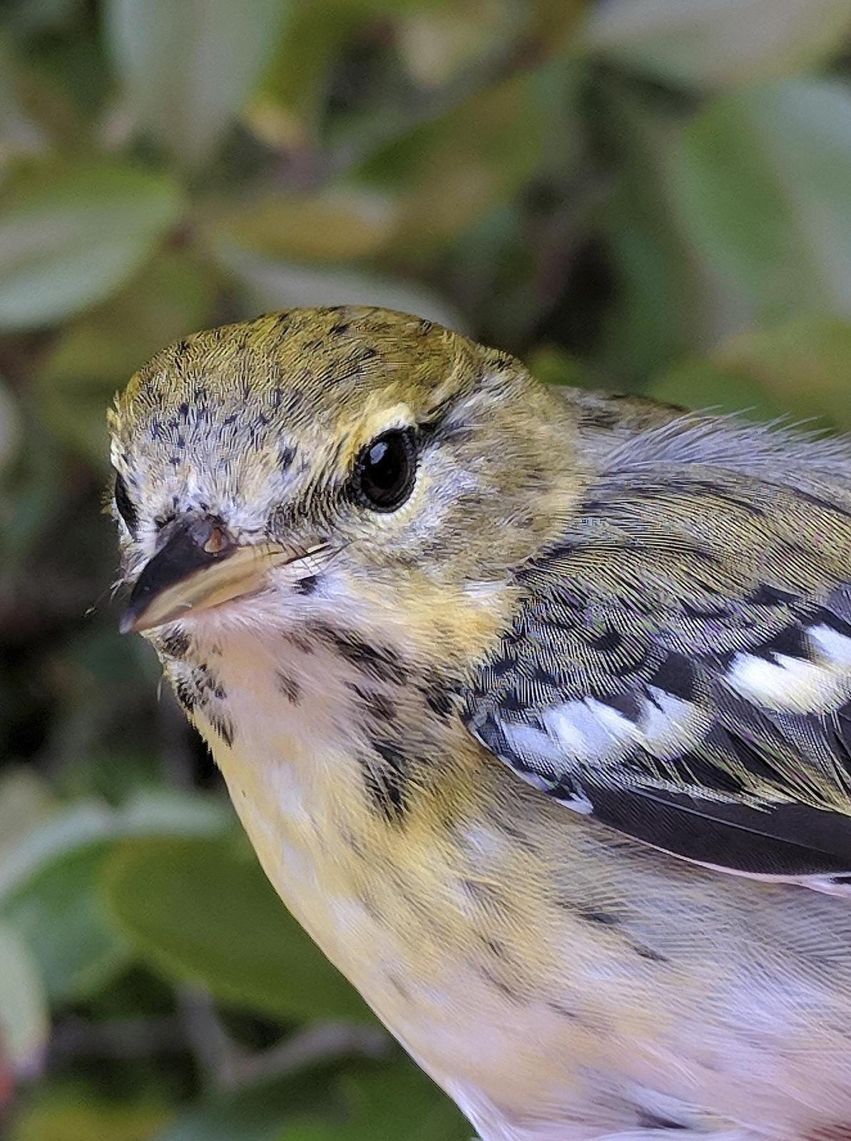 Blackpoll Warbler Photo by Dan Tallman
