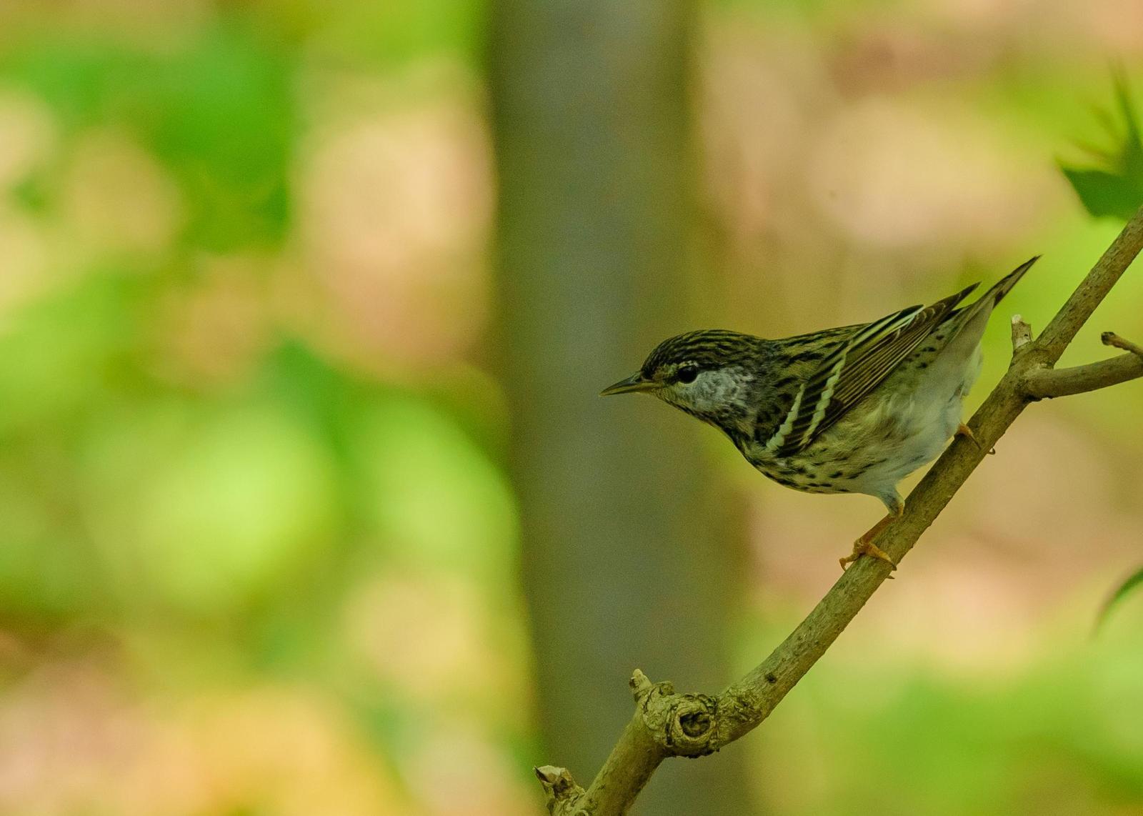 Blackpoll Warbler Photo by Keshava Mysore