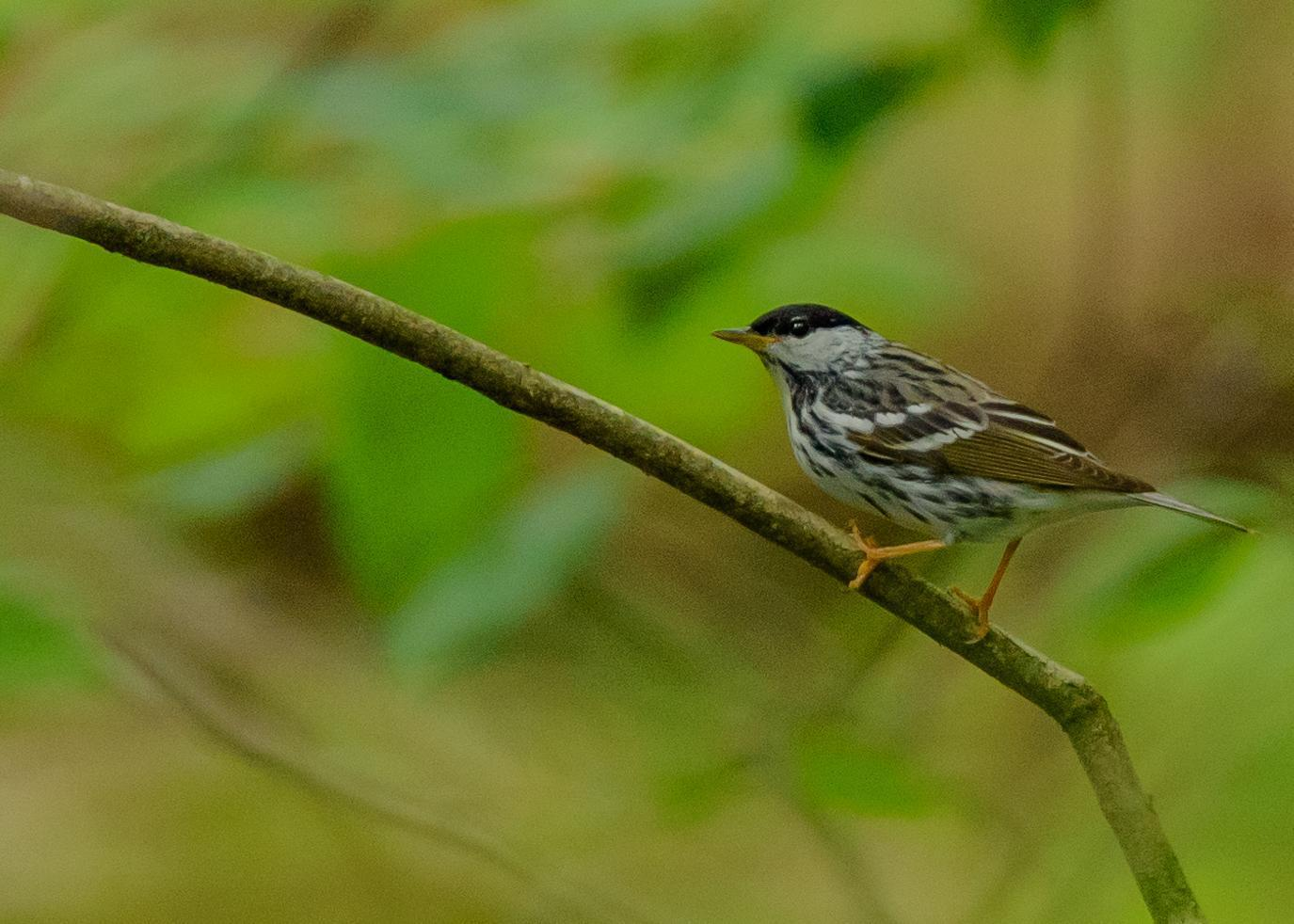 Blackpoll Warbler Photo by Keshava Mysore