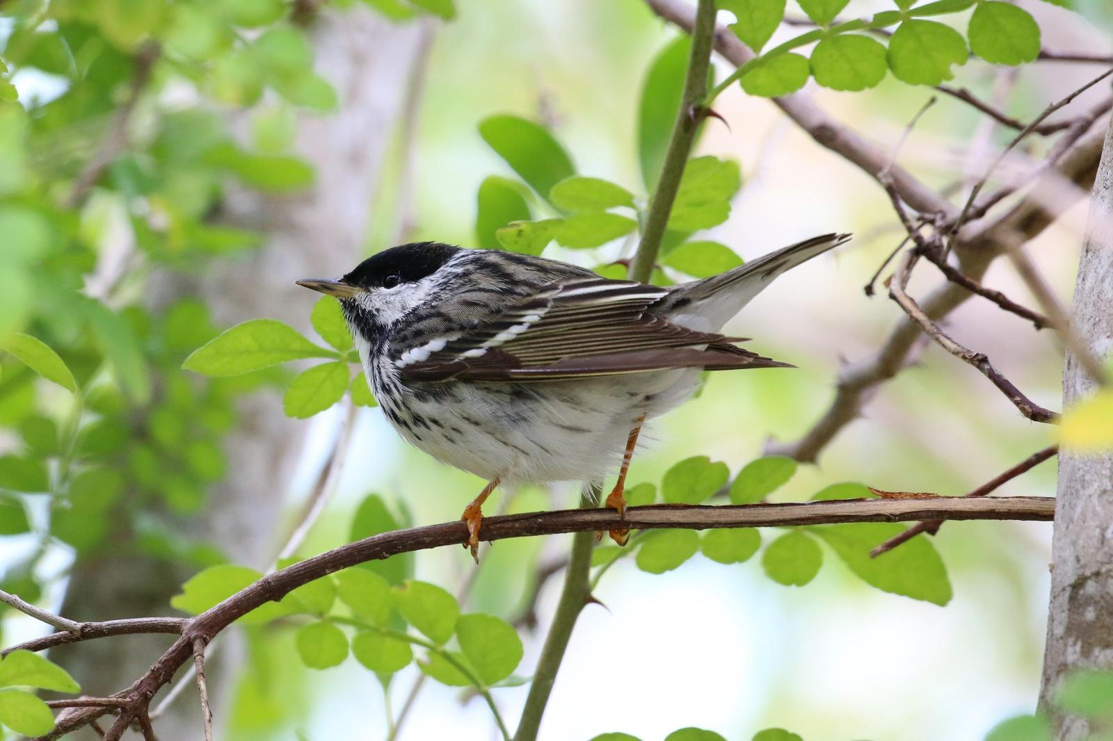 Blackpoll Warbler Photo by Richard Jeffers